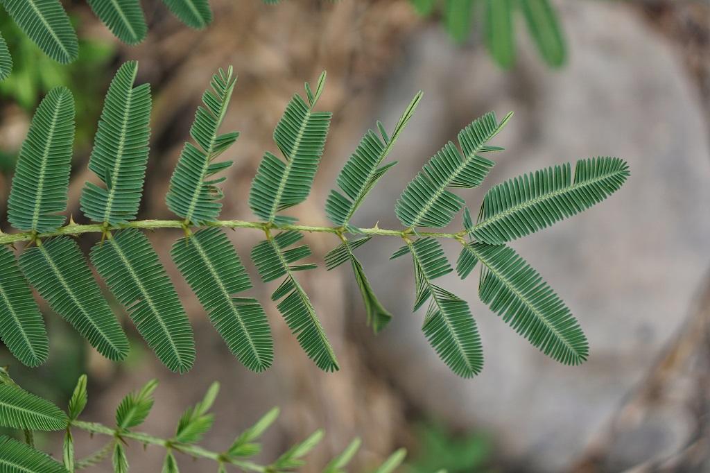 Shameplant terrifying plants