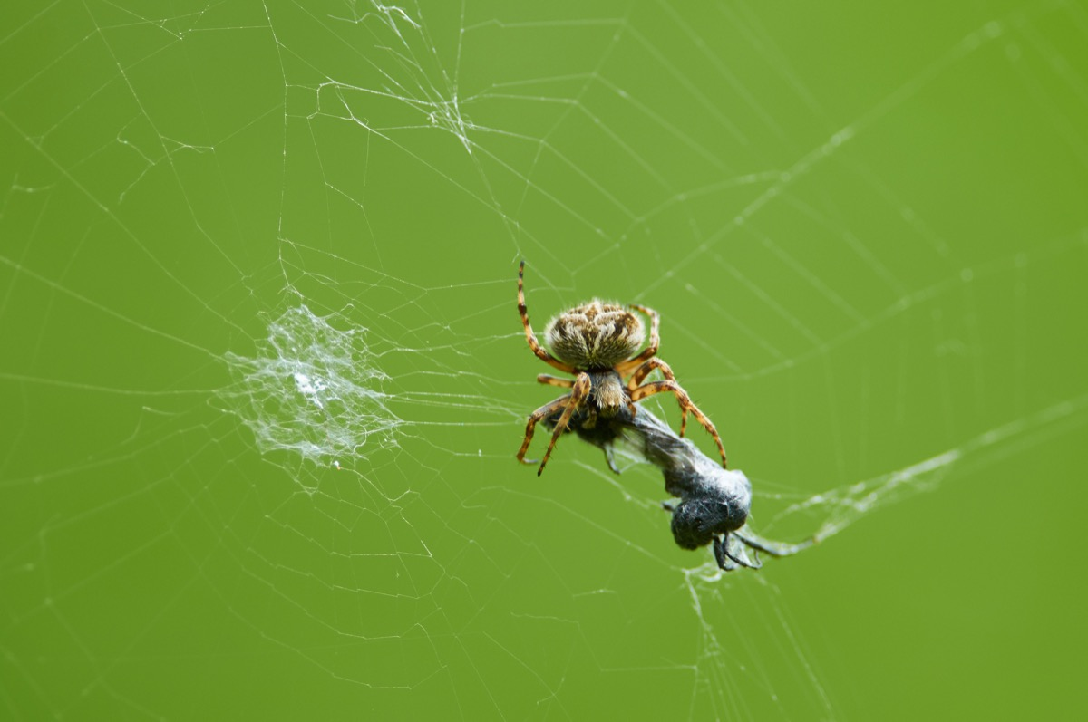 Spider Eating Prey in Its Web {Spider Facts}