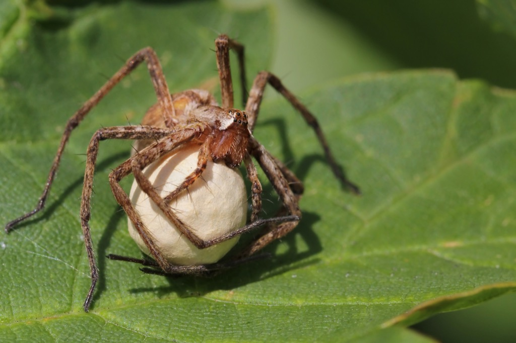 Spider with its Egg {Spider Facts}