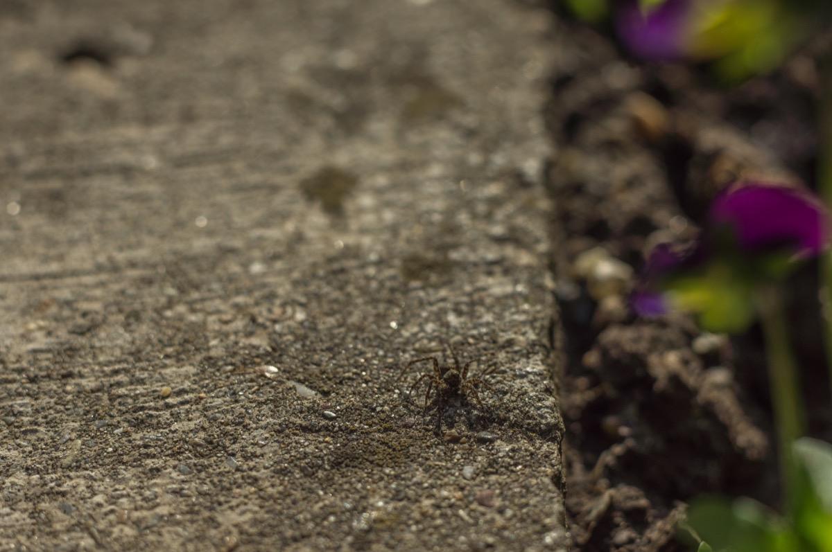 Spider on a Sidewalk {Spider Facts}