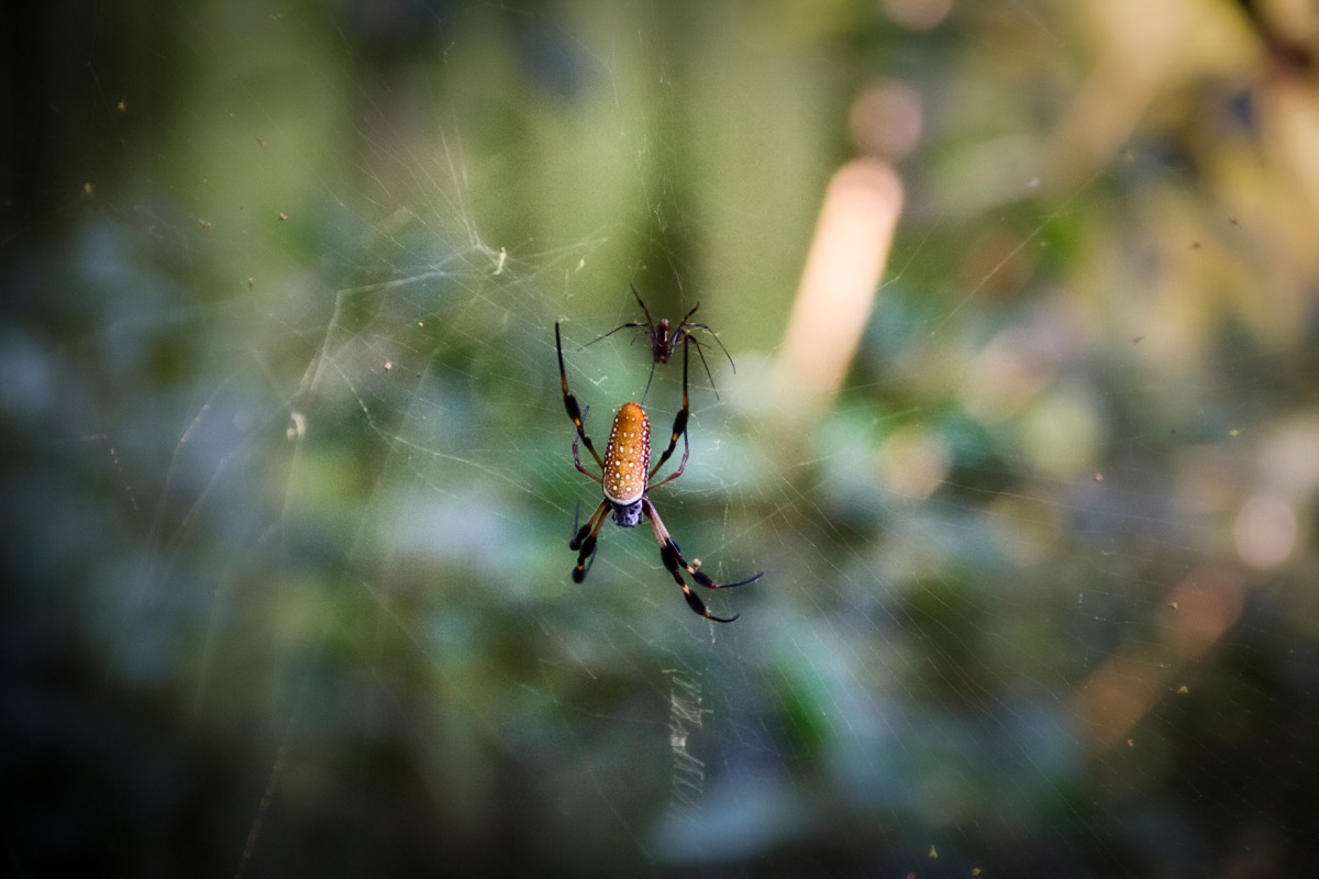 Spiders in a Web {Spider Facts}