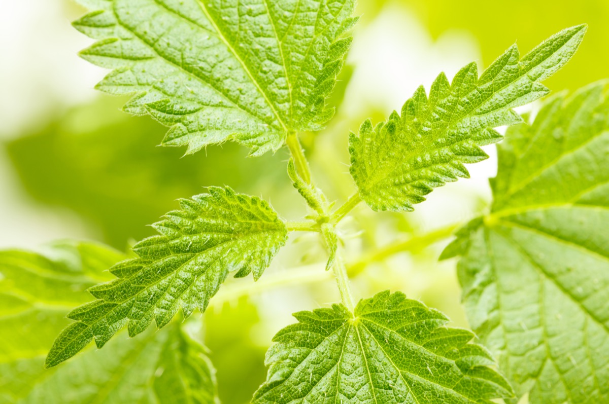 Stinging Nettle Plant {How Do Plants Protect Themselves}