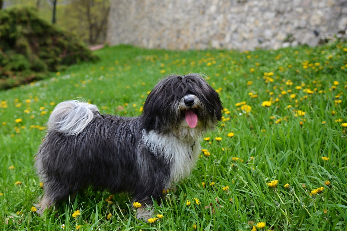 Tibetan Terrier panting in grass filled with daffodils