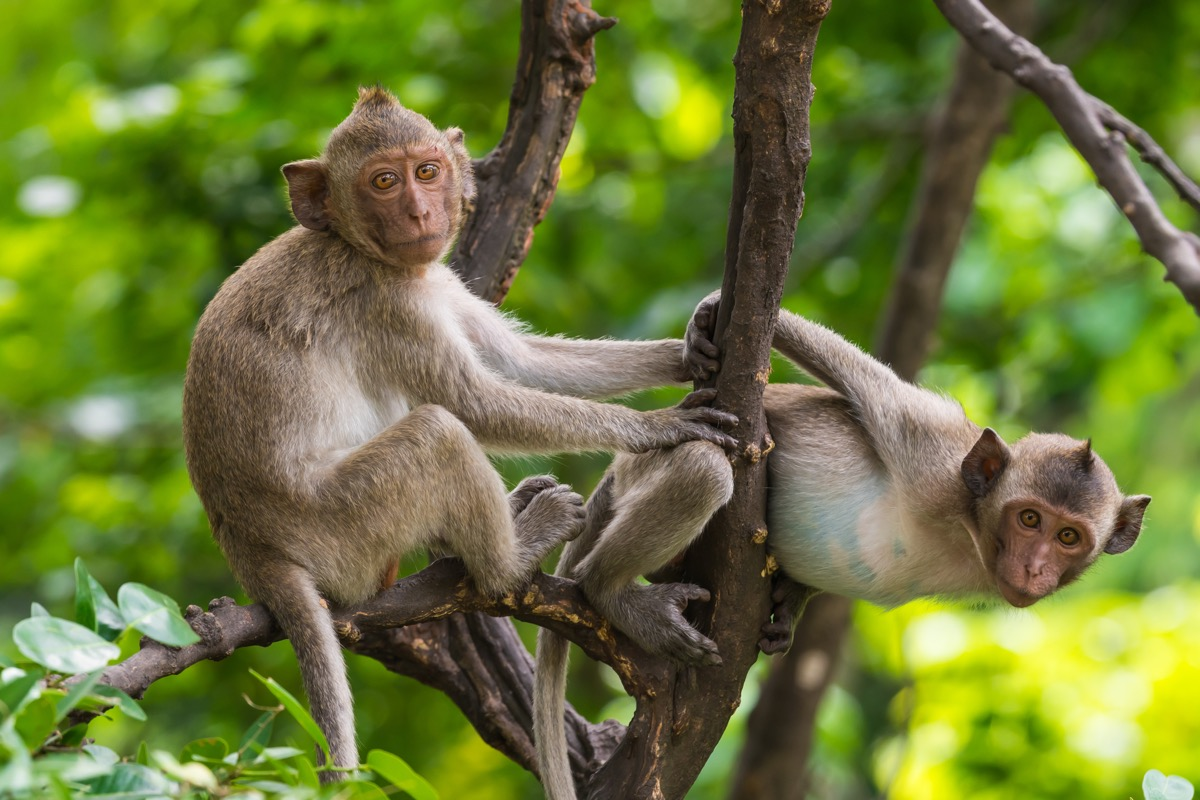 Two Rhesus monkeys play in the trees, state fact about south carolina