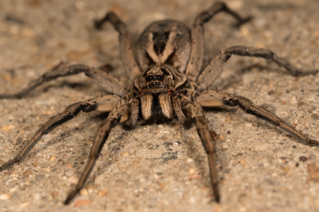 Wolf Spider dangerous bugs in america