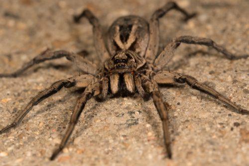 Wolf Spider {Spider Facts}