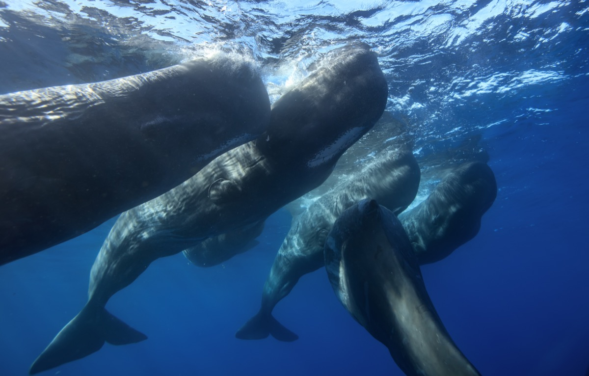 Family of sperm whales underwater