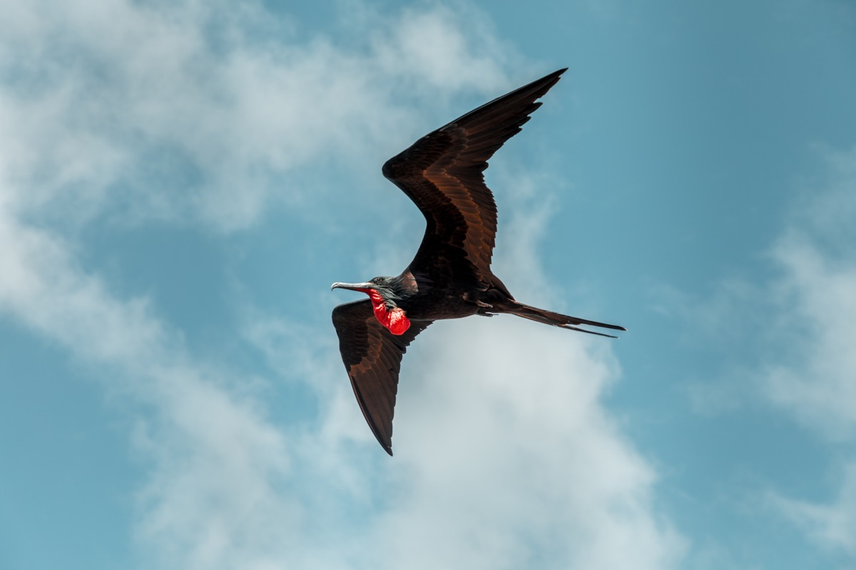 A Frigate bird soaring through the winds of the Galapagos Islands - Image