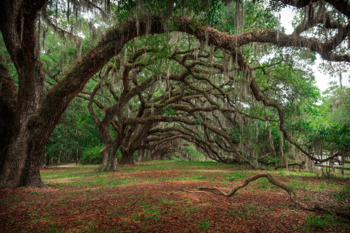 Oaks Avenue at Dixie Plantation, Hollywood, South Carolina USA - Image