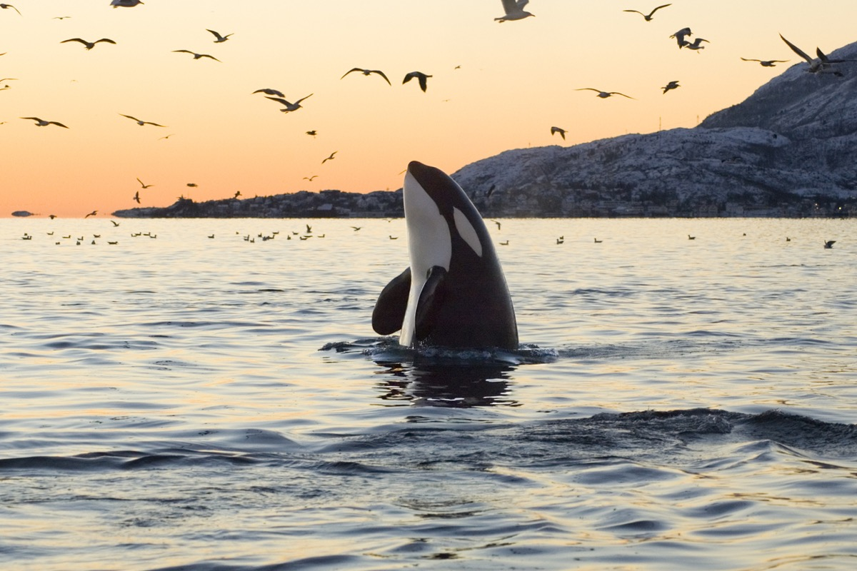 Orca whale in ocean, type of dolphin that can live long
