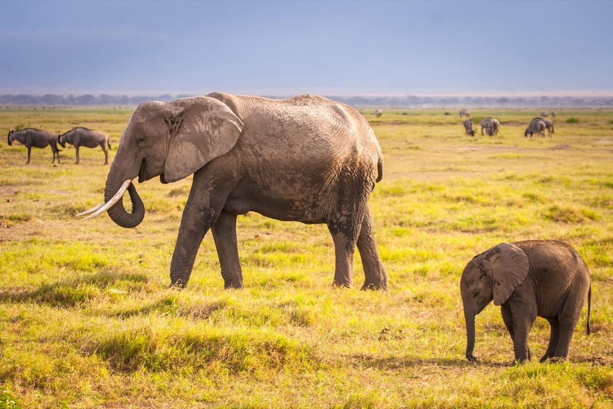 Elephant and elephant. Kenya. Safari in Africa. African elephant. Animals of Africa. Travel to Kenya. Family of elephants. - Image