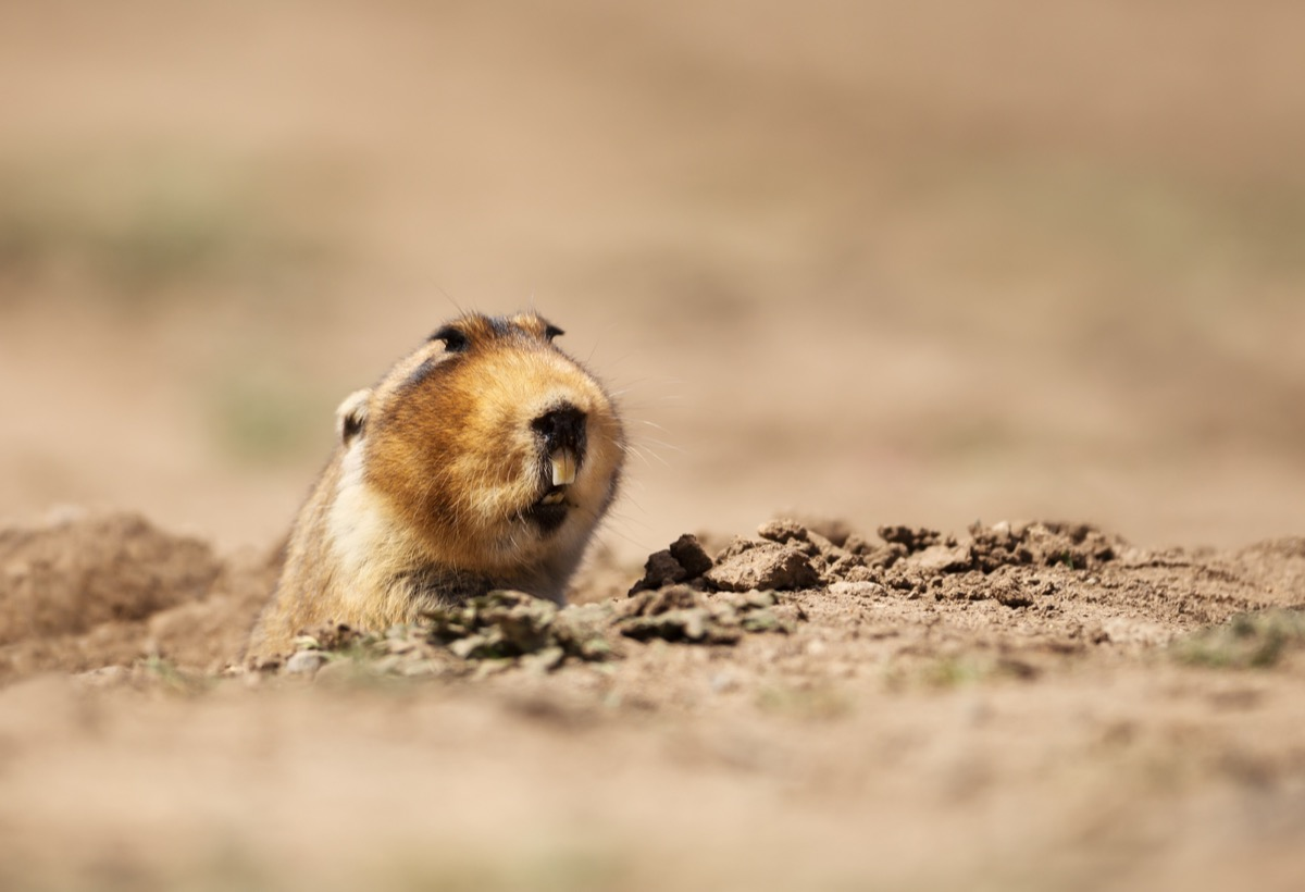 Close up of a big-headed African mole-rat, Bale Mountains, Ethiopia. - Image