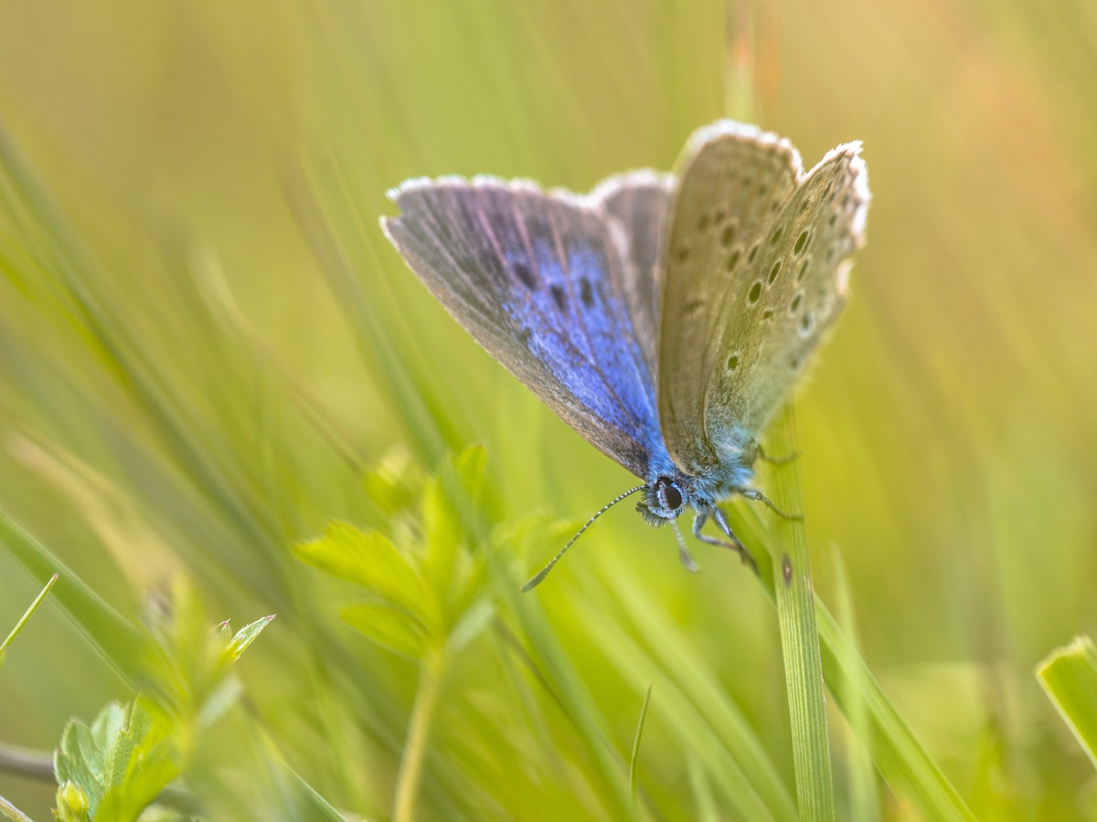 Alcon blue butterfly (Phengaris alcon) resting in grassy vegetation. It can be seen flying in mid to late summer. Like some other species of Lycaenidae, its larva (caterpillar) stage depends on ants. - Image