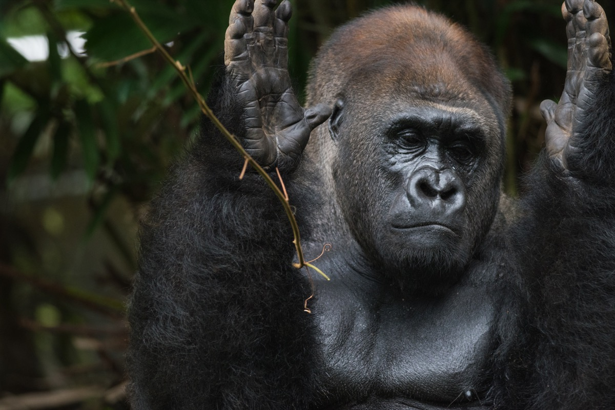 Western Lowland Silverback Gorilla Clapping Hands - Image