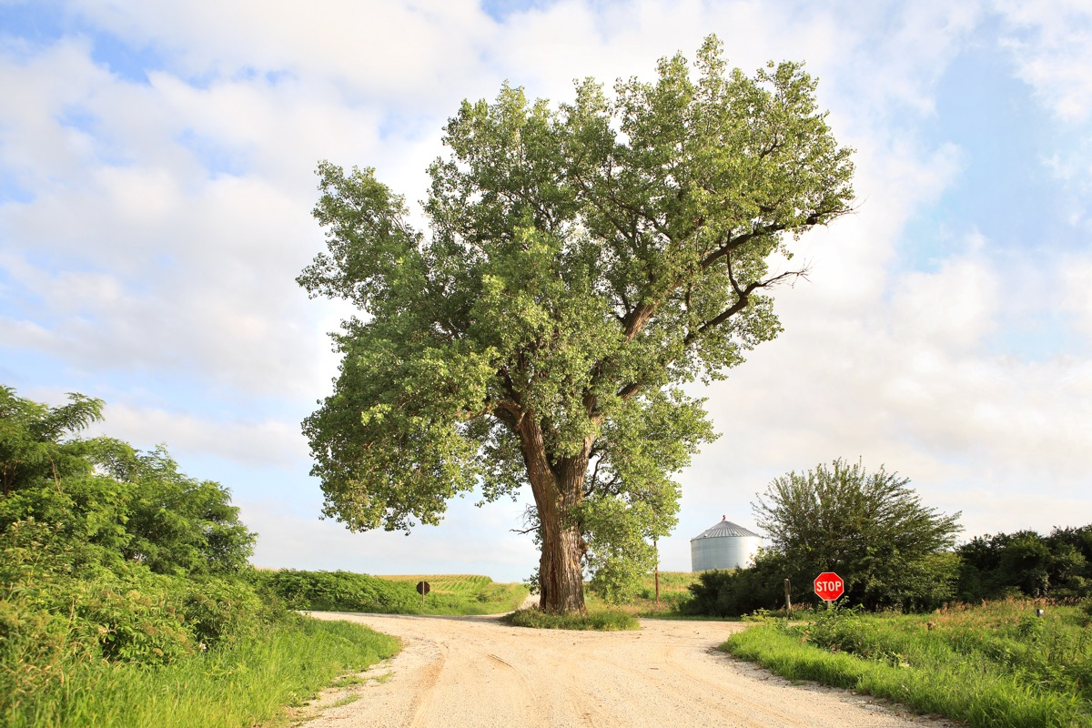 A 158 year old cottonwood tree grows in the middle of an intersection in rural Audubon County, Iowa - Image