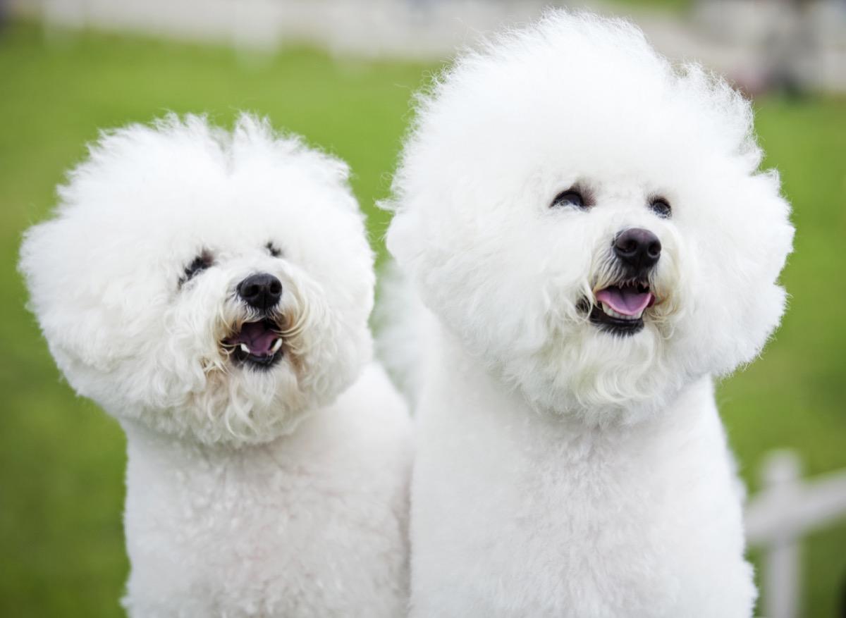 Bichon Frise dog breed fluffiest dog breeds