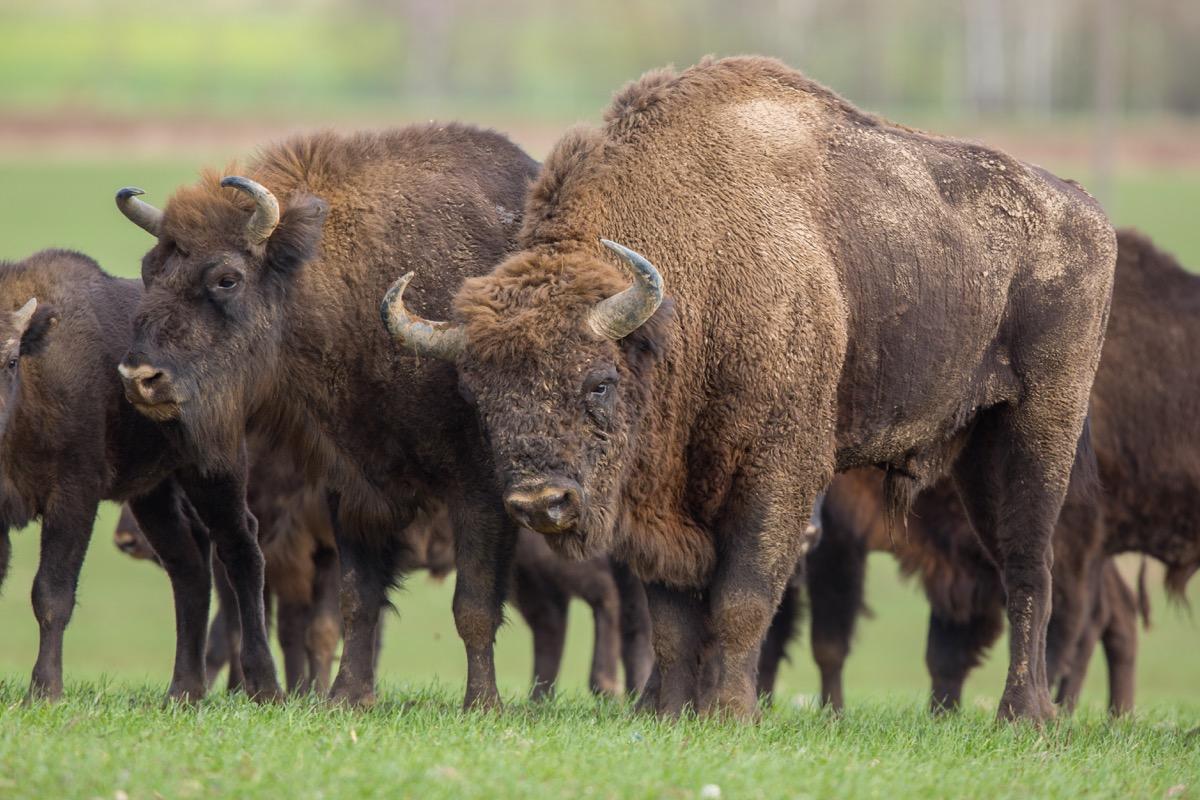 European bison - Bison bonasus in the Knyszyn Forest (Poland) - Image