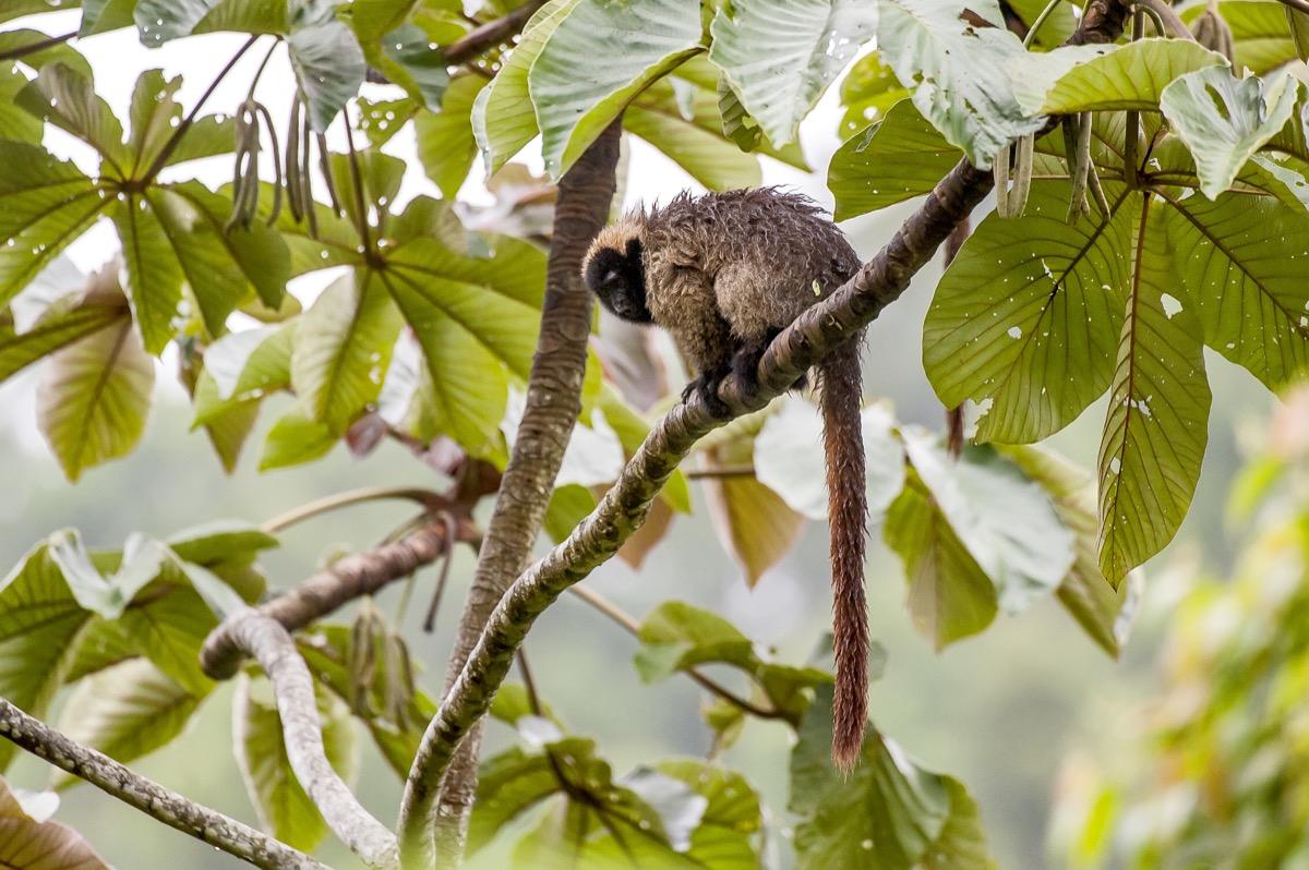 Masked titi monkey (Callicebus personatus), photographed in Santa Teresa, Espírito Santo - Brazil. Atlantic forest Biome. Wild animal. - Image