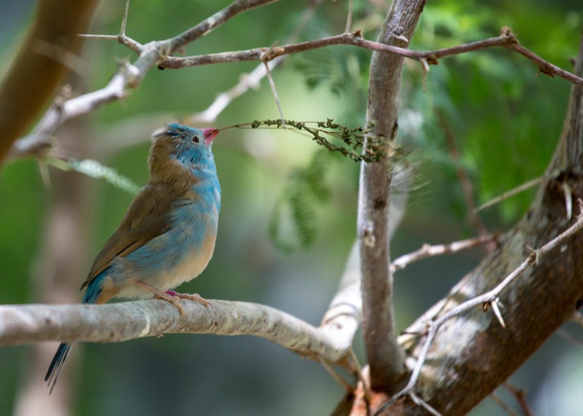 Blue Capped Cordon Blue (Uraeginthus cyanocephalus) spotted outdoors - Image