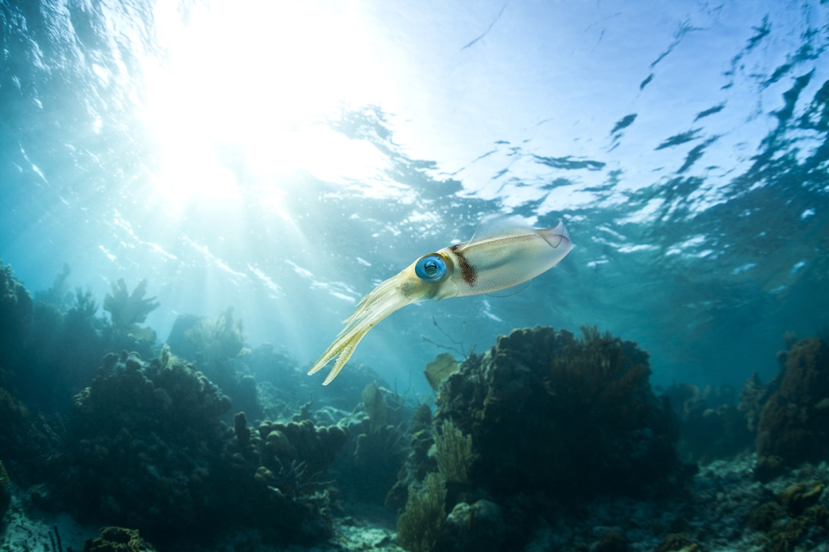 Caribbean Reef Squid (Sepioteuthis sepioidea), hovering over a tropical coral reef off the island of Roatan, Honduras. - Image