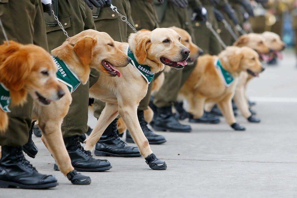 Chilean military dogs adorable police animals