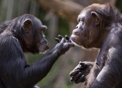chimpanzees gazing wistfully at each other