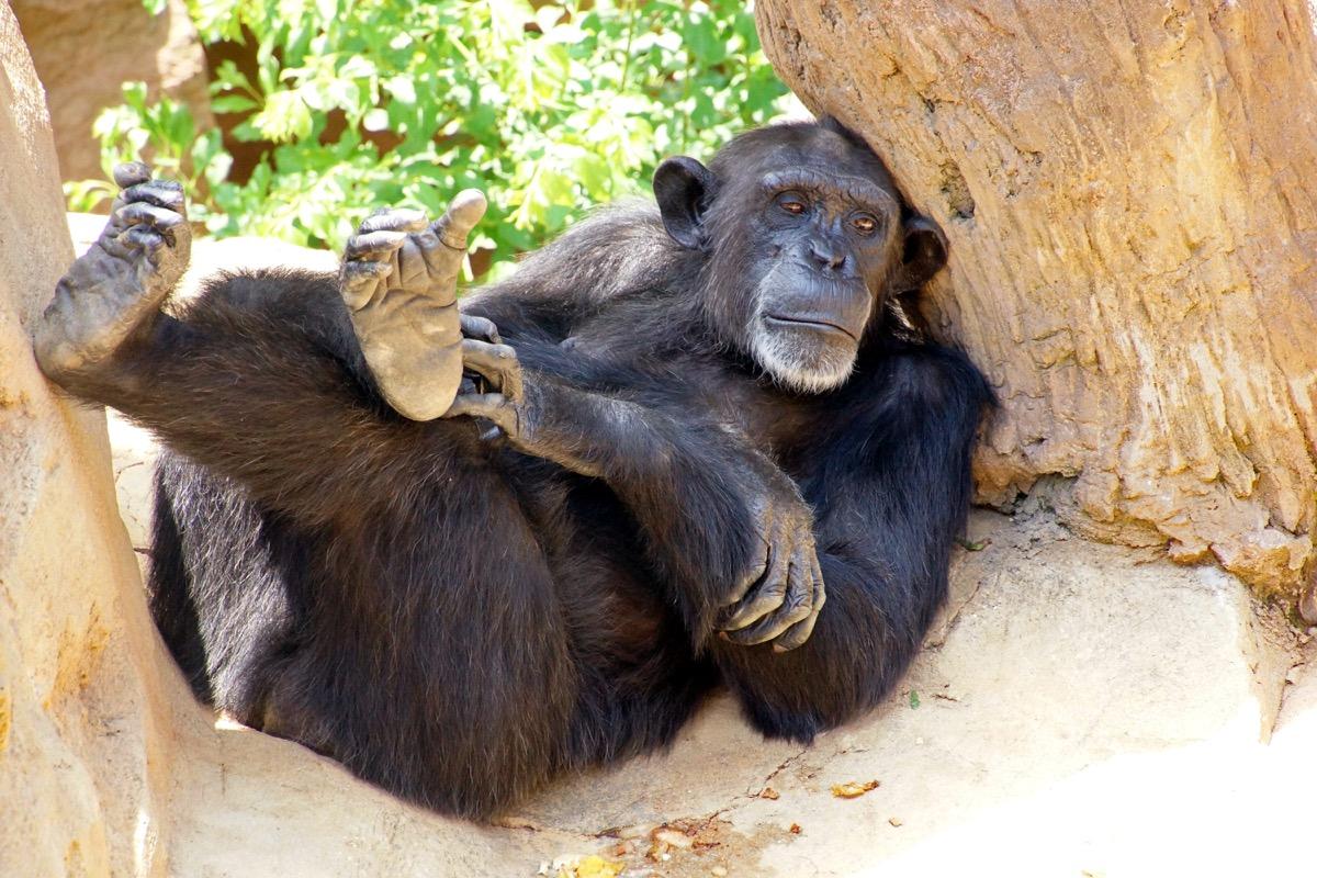 Monkey relaxing on rock in zoo - Image