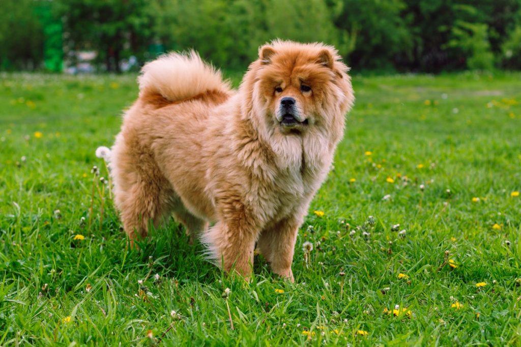 Ras anjing Chow Chow Ras anjing paling lembut