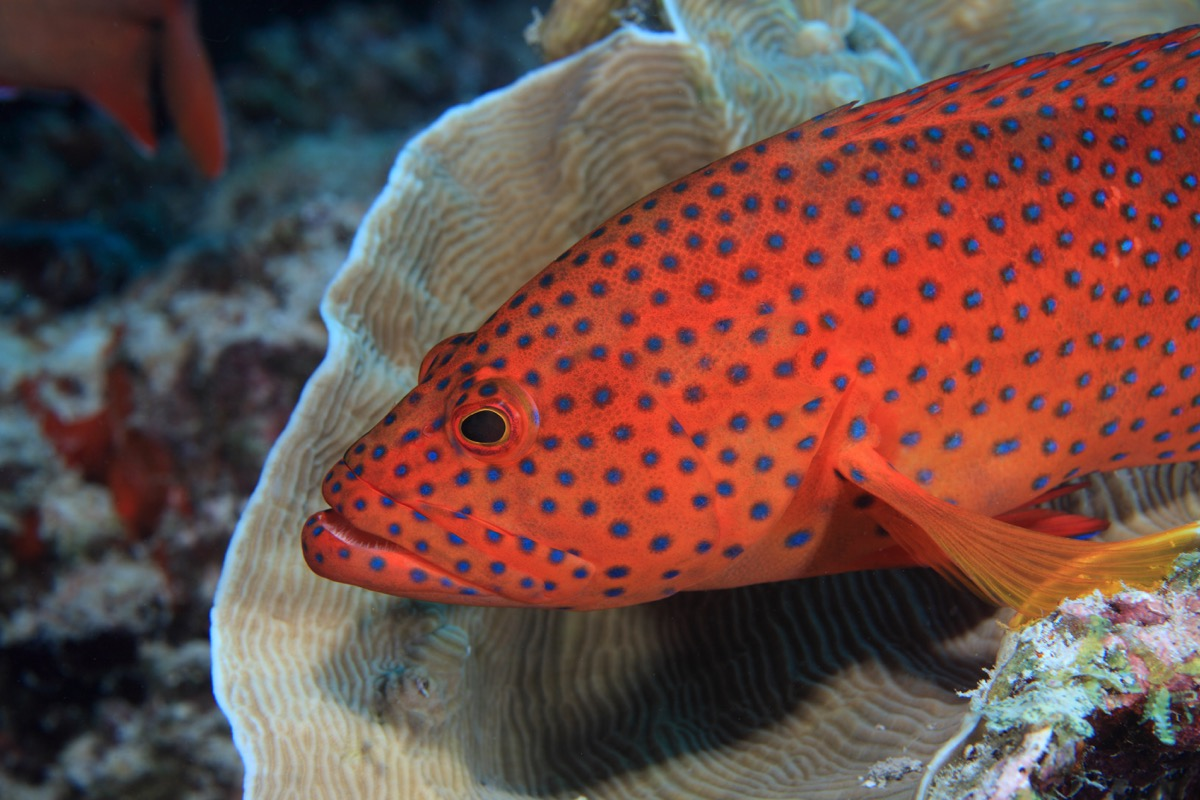 Coral hind grouper (Cephalopholis miniata) in the coral reef - Image