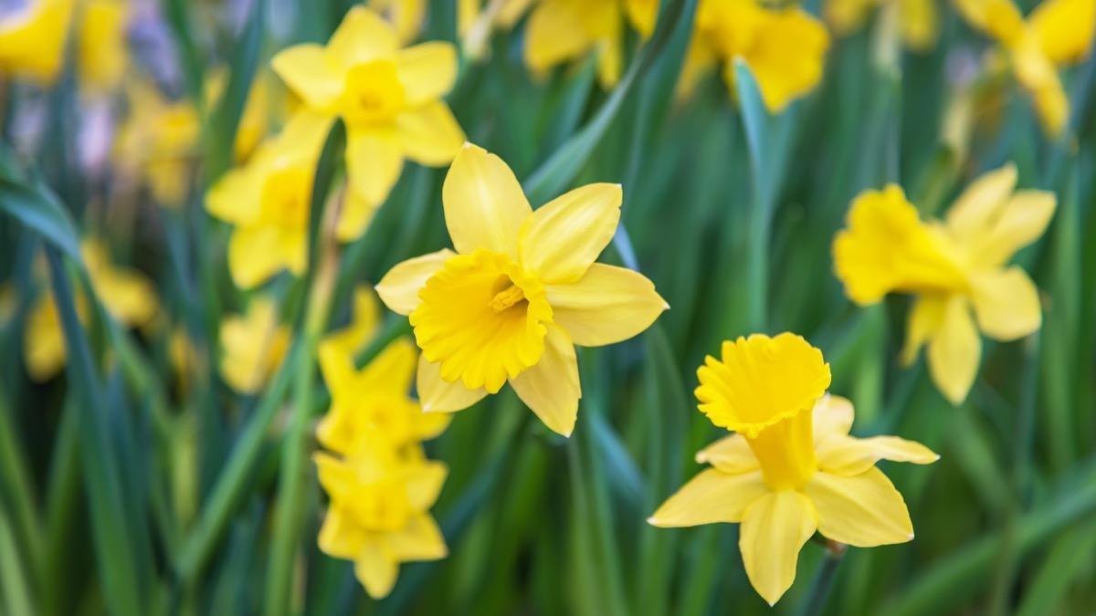 Daffodils Dangerous Plants in Your Backyard