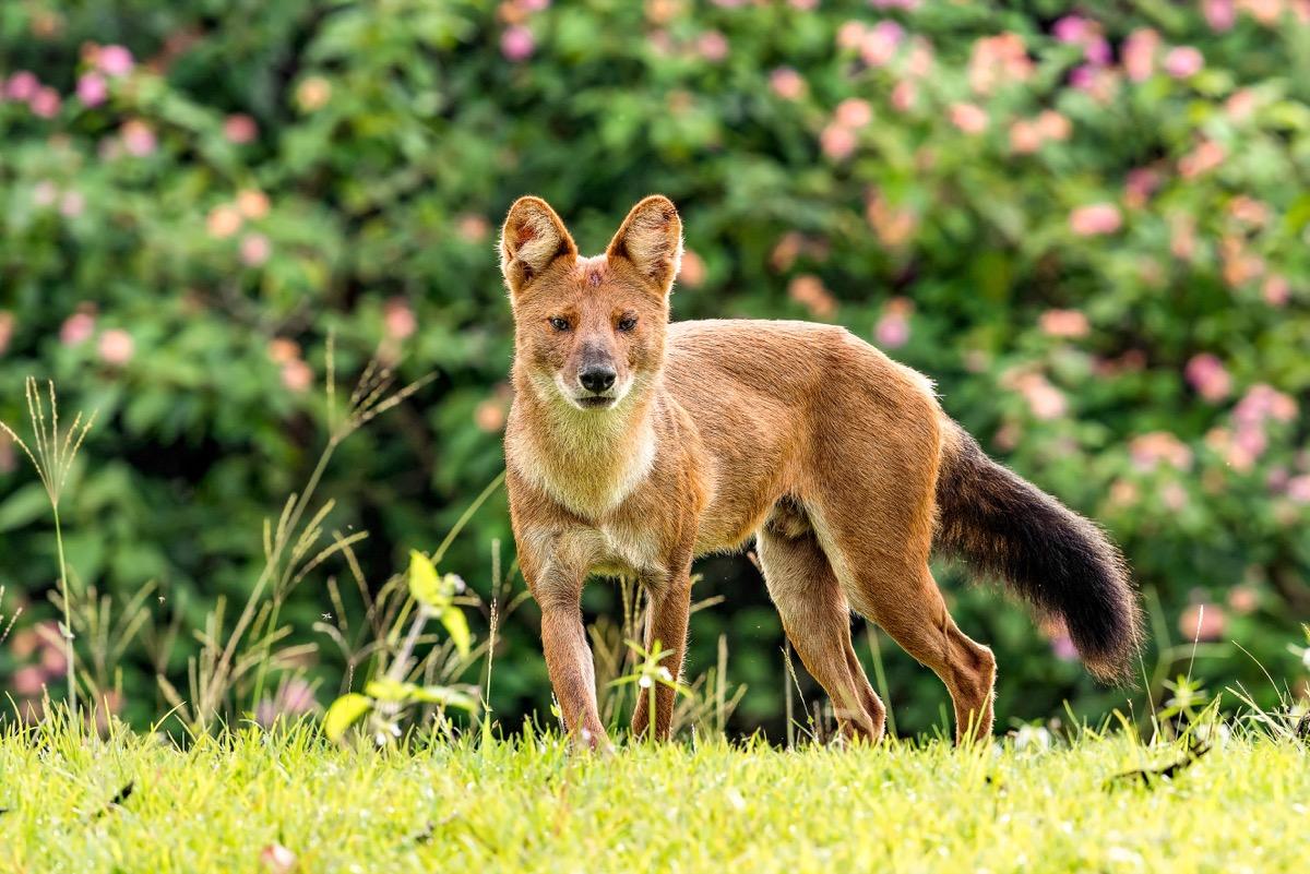 Alpha Male - Image Dhole whistling dog