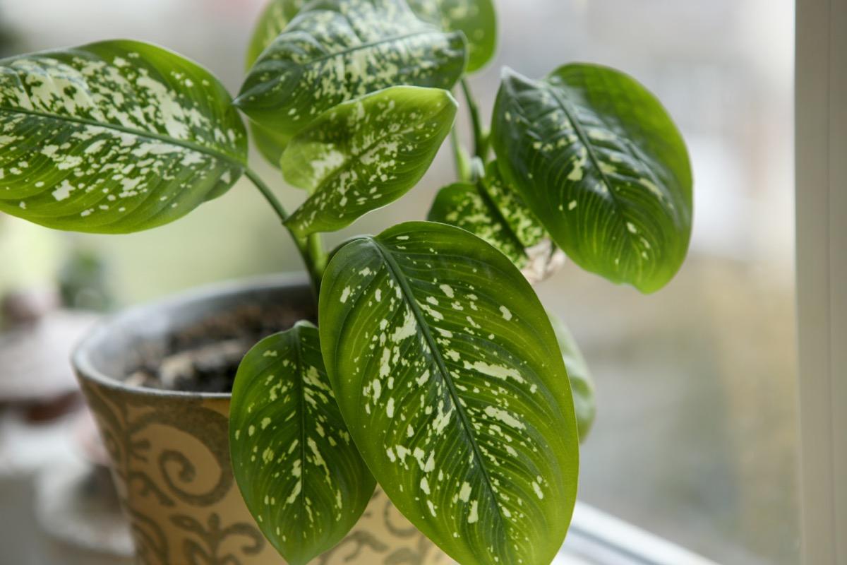 Dieffenbachia Dangerous Plants in Your Backyard
