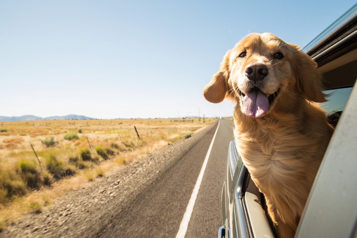 Dog Sticking His Head Out the Window
