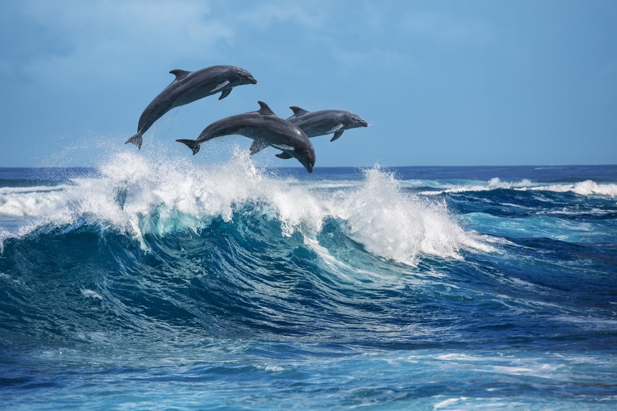 dolphin pact jumping, dolphin facts