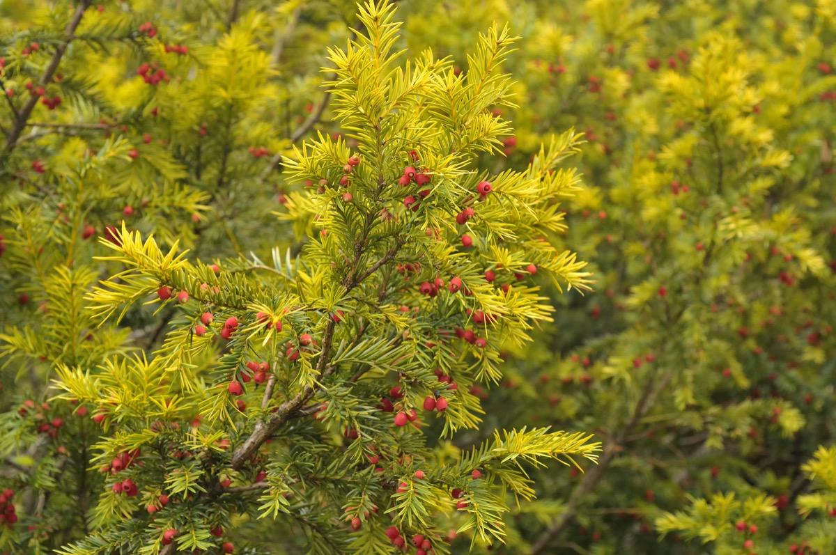 English Yew Plant Dangerous Plants in Your Backyard