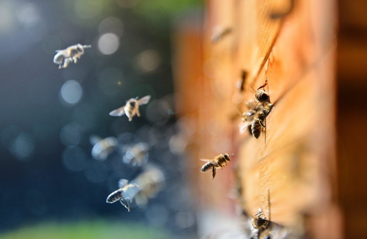Close up of flying bees. Wooden beehive and bees, blured background. - Image