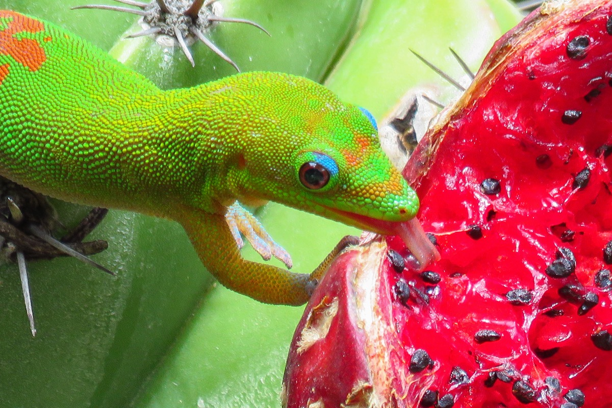Gold dust day gecko licking the juicy red fruit of a green cactus at Moir Gardens, Kauai, Hawaii - Image