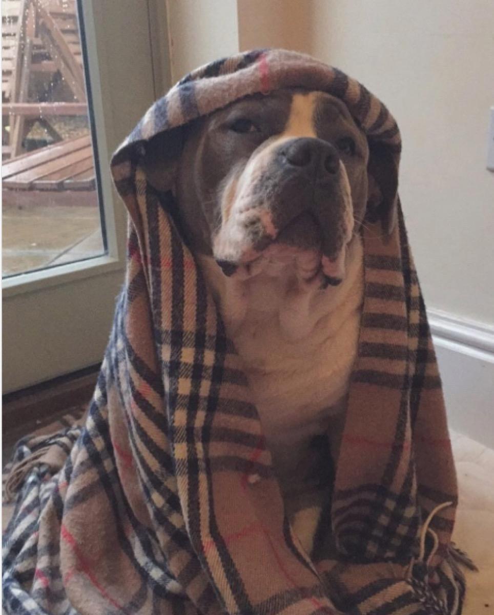 grumpy dog in blanket