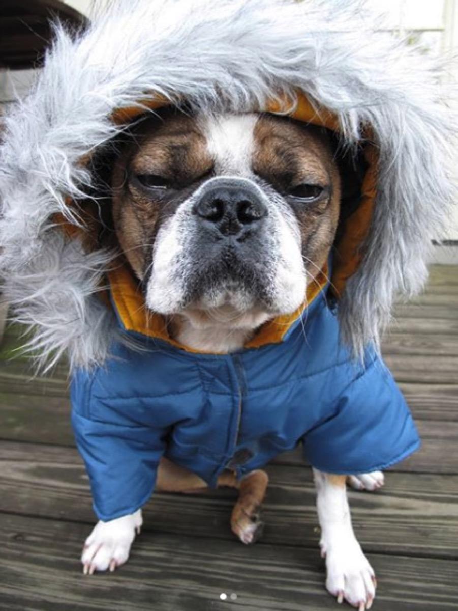 grumpy dog in coat