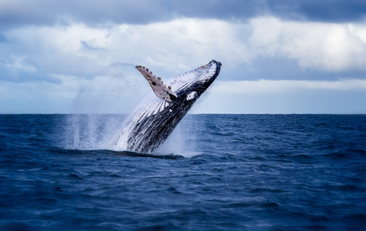 Humpback whale jumping out of ocean