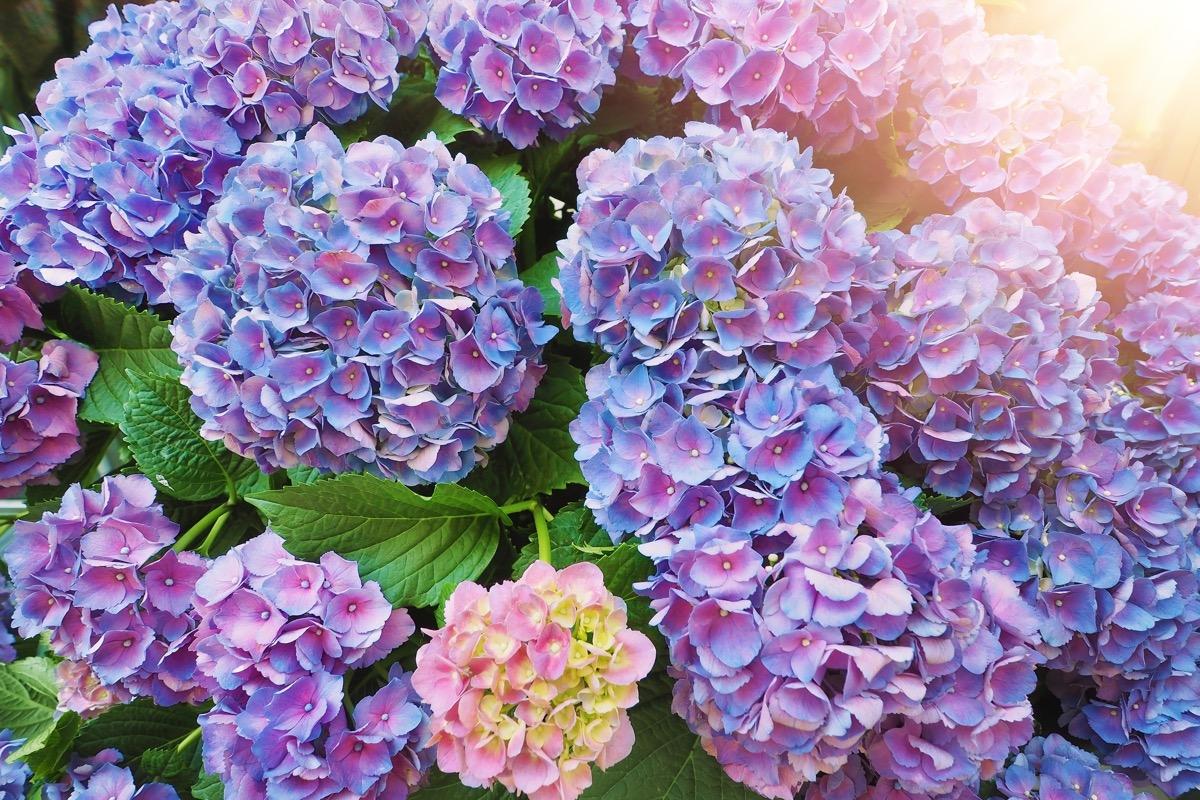 Hydrangeas Dangerous Plants in Your Backyard