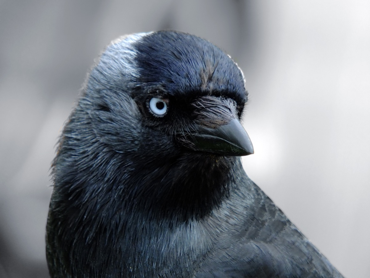 close up portrait of a jackdaw with head filling the frame looking at the camera with blue eyes on a light background - Image