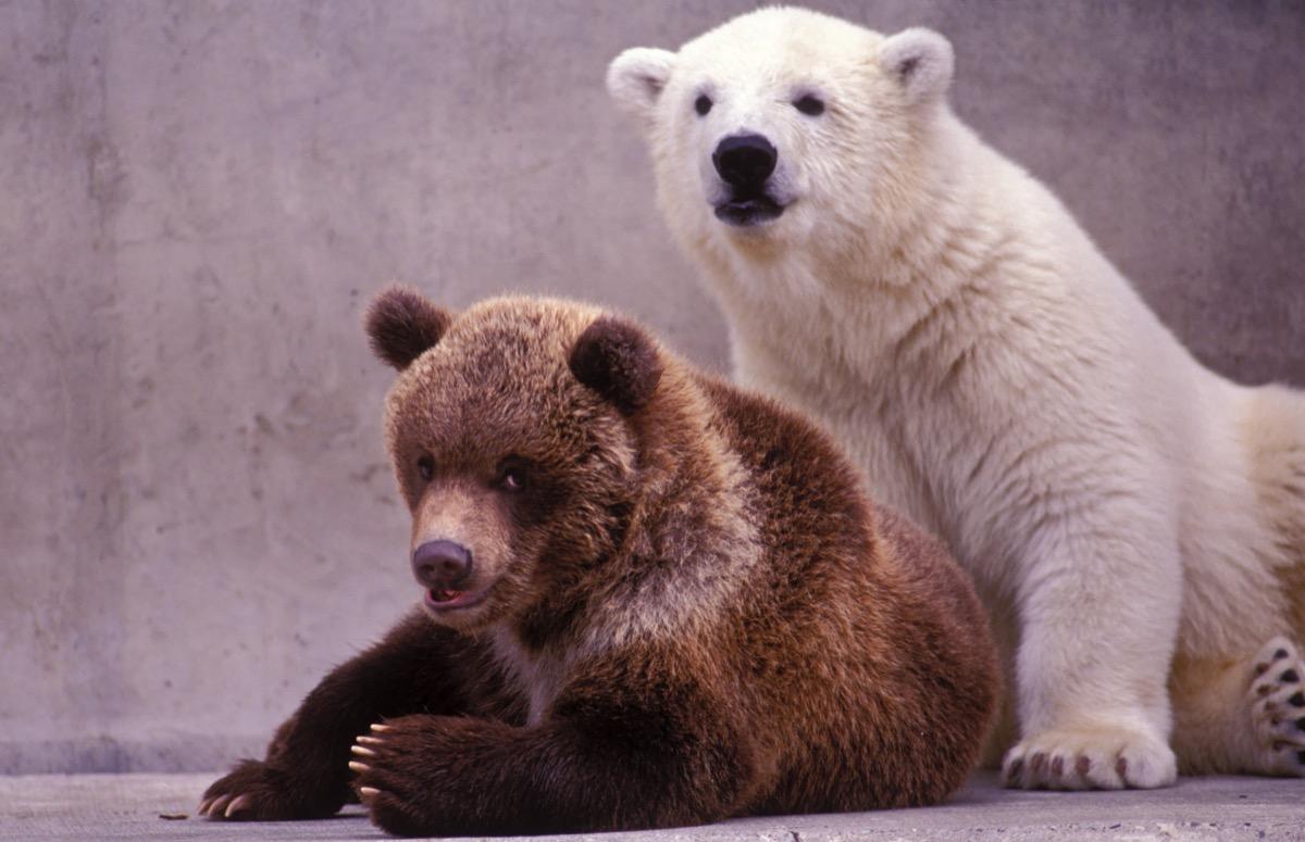 Brown and polar bear cubs portrait