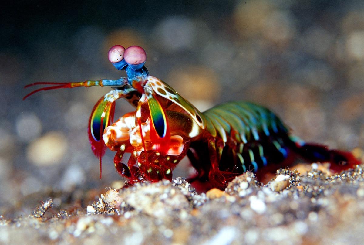 Mantis shrimp - Image