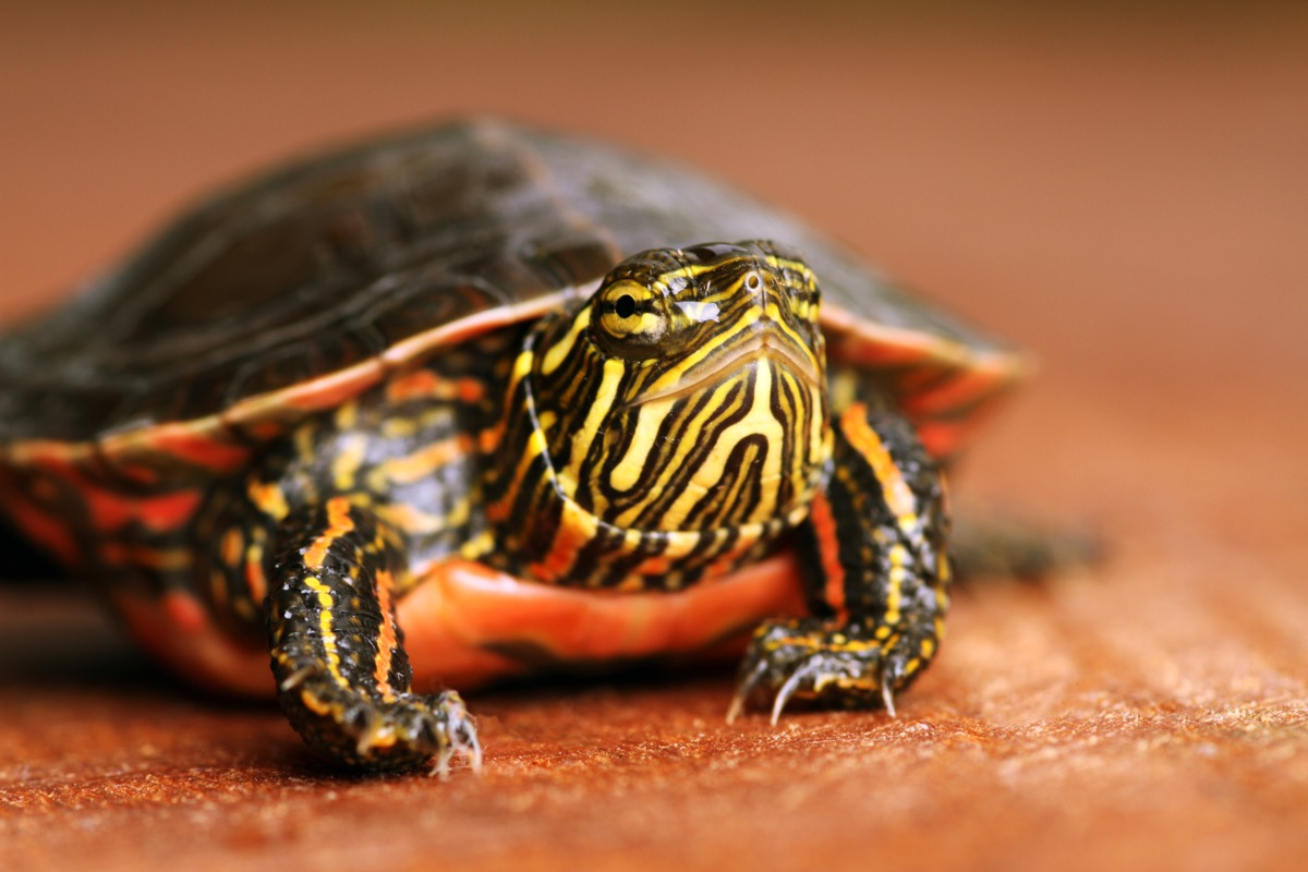 painted turtle, chrysemys pica, smarter facts