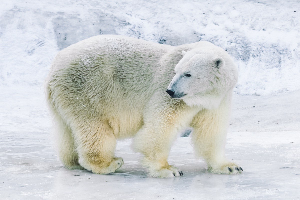 young polar bear in Moscow zoo