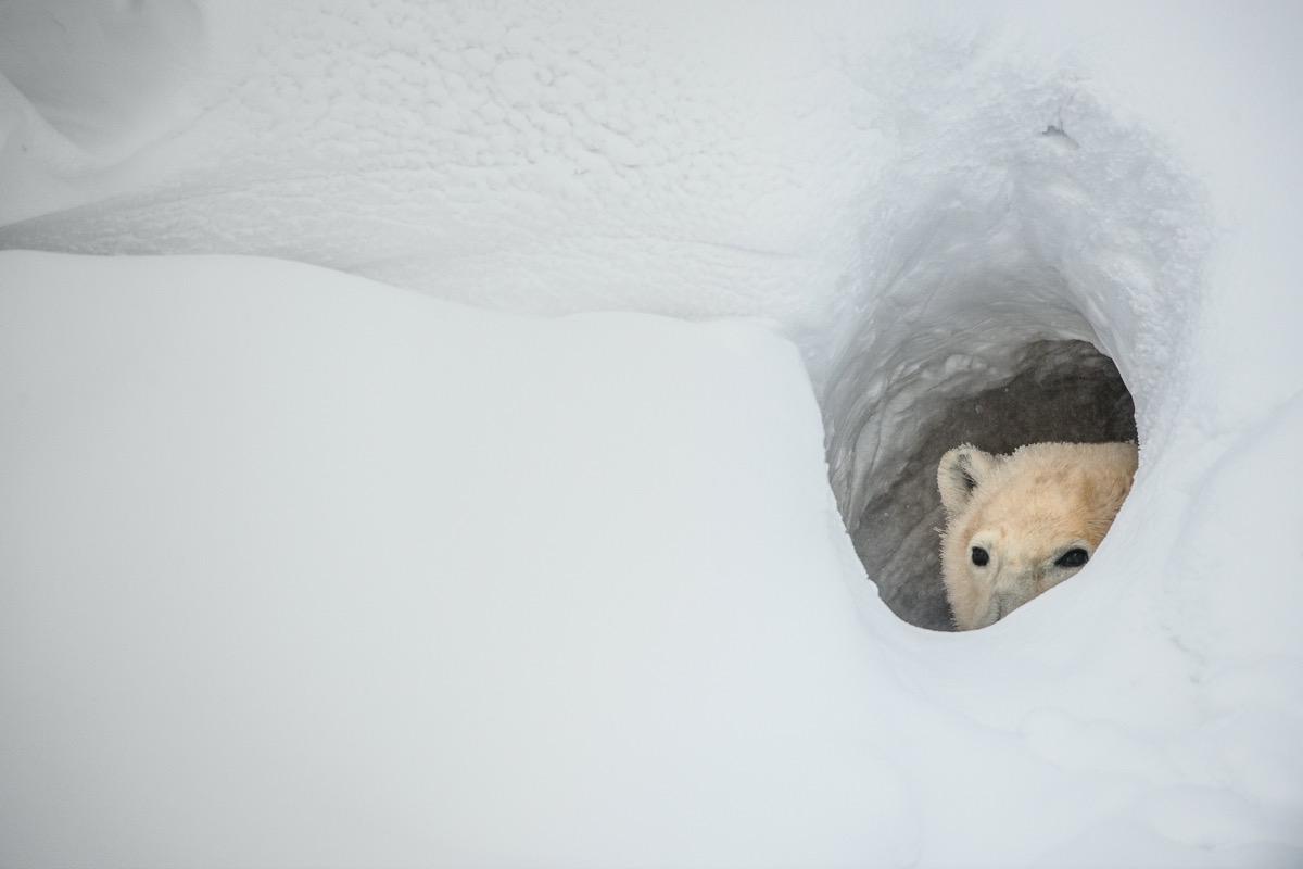 The polar bear looks out of a snow den. Canada