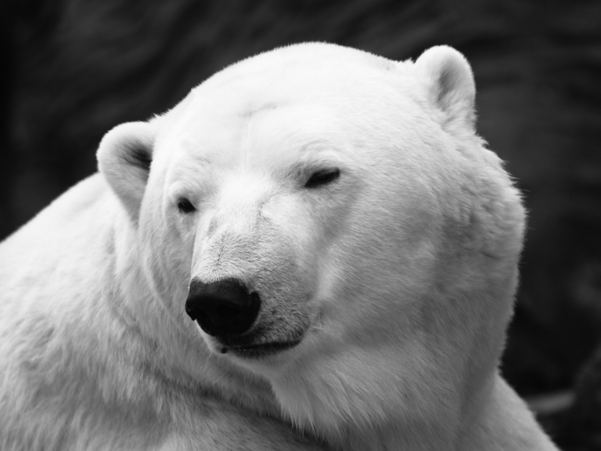 Detailed view of polar bear, close-up, ursus maritimus