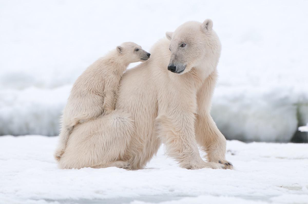 Polar bear mother and cub polar bear facts