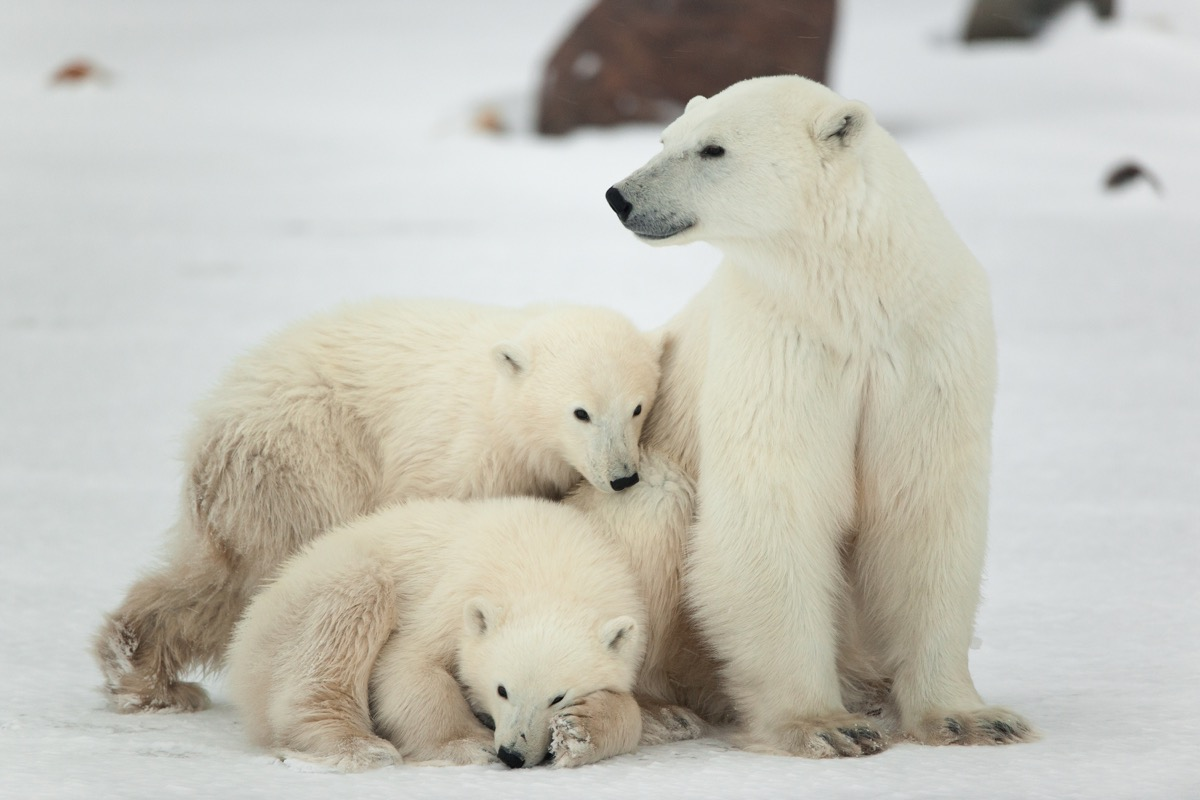 Polar bear mother and cubs polar bear facts